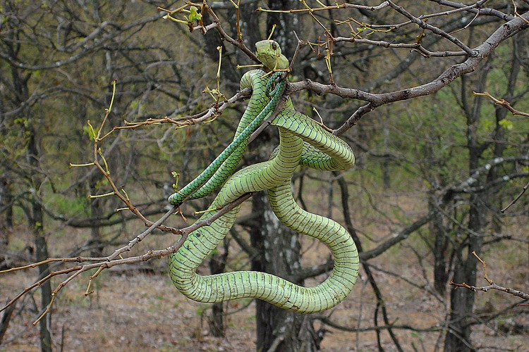 Snakebites