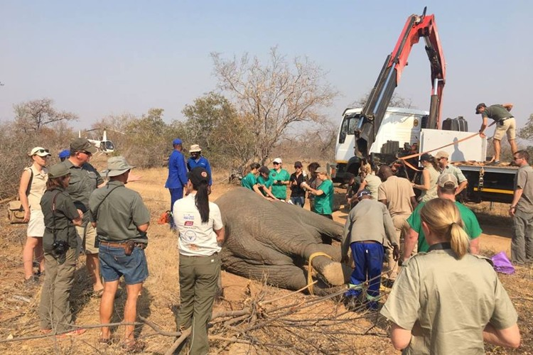 Elephant Capture and Translocation