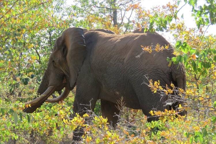 Injured Elephant